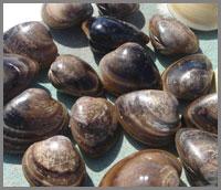 Sea of Cortez clams