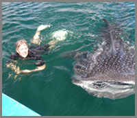 Baja whale shark swimming