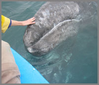 Petting Gray whale in Scammons Lagoon