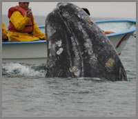 adult whale watching in Baja