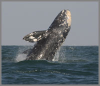 Jumping whale watching in baja Mexico