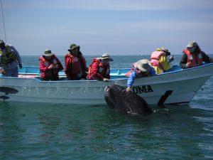 Baja Whale watching trips inOjo de Libre