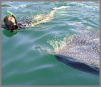 Baja whale shark snorkeling