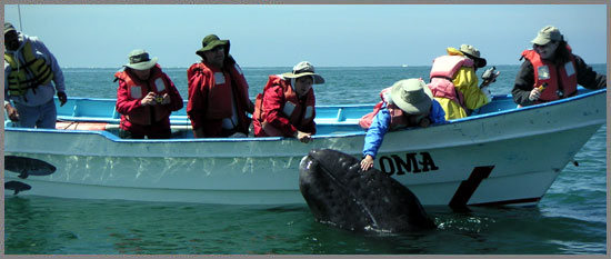 Frequently Asked Questions Baja Whale Watching grey whale petting