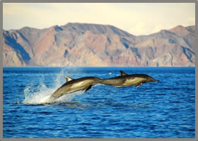 Sea of Cortez jumping dolphins