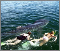 Baja whale shark snorkeling and whale watching