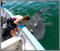 Baja whale shark at boat