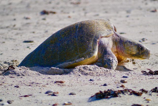 midriff island tours - Baja green sea turtles laying eggs at las Animas ecolodge beach